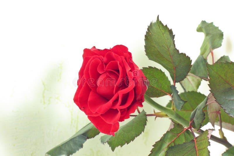 Close-up de Rosa O vermelho levantou-se Rosa bonita imagem de stock royalty free