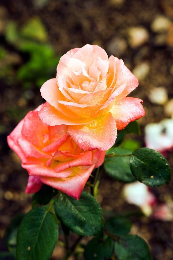 Close-up de rosas alaranjadas imagem de stock