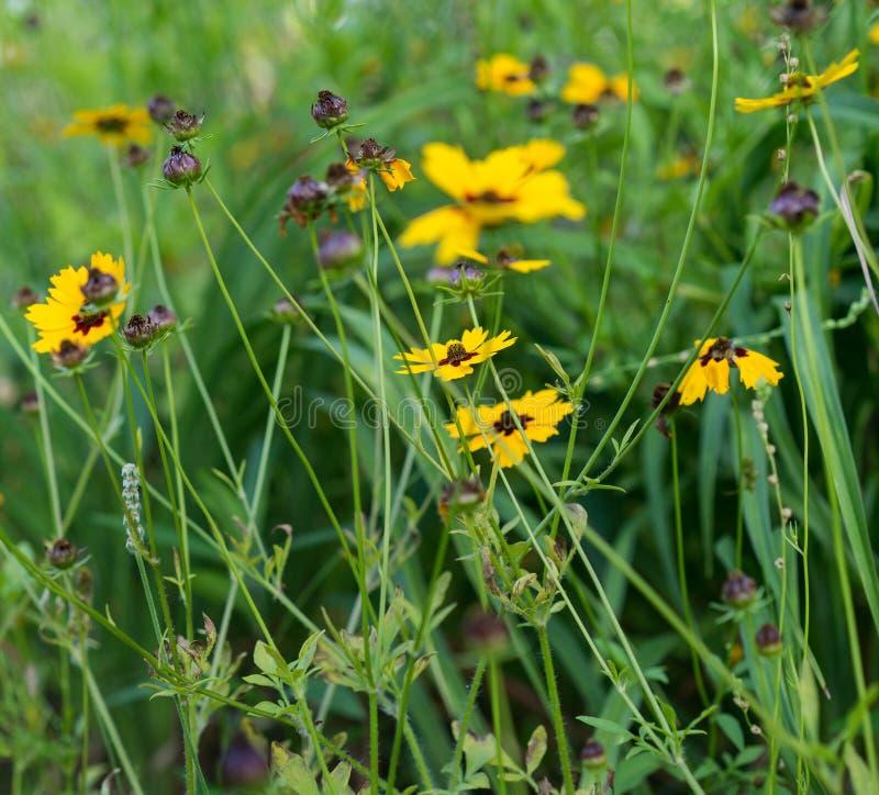Close up de Susan Flowers de olhos pretos selvagem alegre fotografia de stock royalty free