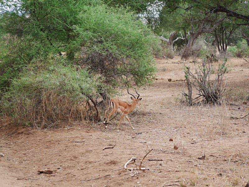 Close-up de Thomson Gazelle no safari em Tarangiri-Ngorongoro imagem de stock royalty free