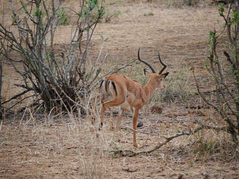 Close-up de Thomson Gazelle no safari em Tarangiri-Ngorongoro fotografia de stock royalty free