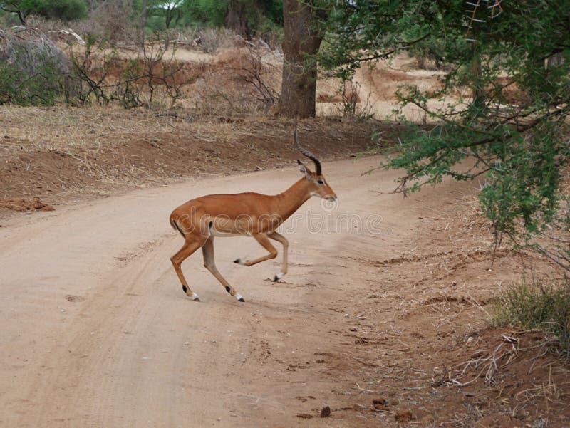 Close-up de Thomson Gazelle no safari em Tarangiri-Ngorongoro imagem de stock