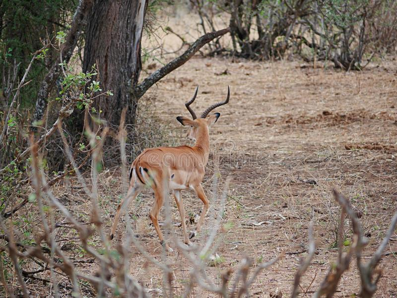 Close-up de Thomson Gazelle no safari em Tarangiri-Ngorongoro fotografia de stock