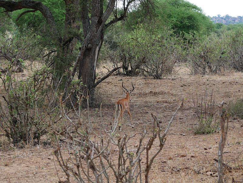 Close-up de Thomson Gazelle no safari em Tarangiri-Ngorongoro fotos de stock royalty free