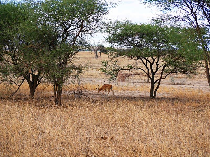 Close-up de Thomson Gazelle no safari em Tarangiri-Ngorongoro foto de stock royalty free