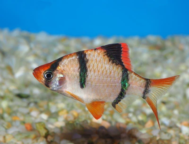 Close up de Tiger Barb fotografia de stock royalty free