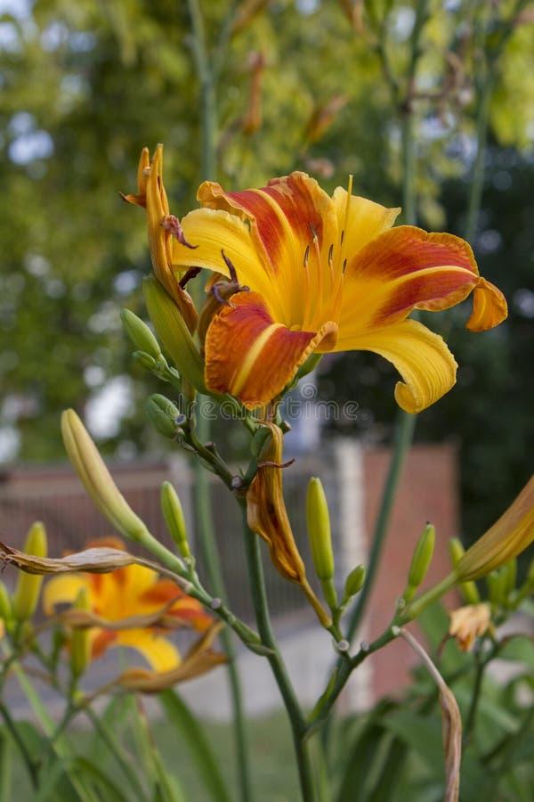 Close up de Tiger Lily alaranjado e amarelo imagens de stock royalty free