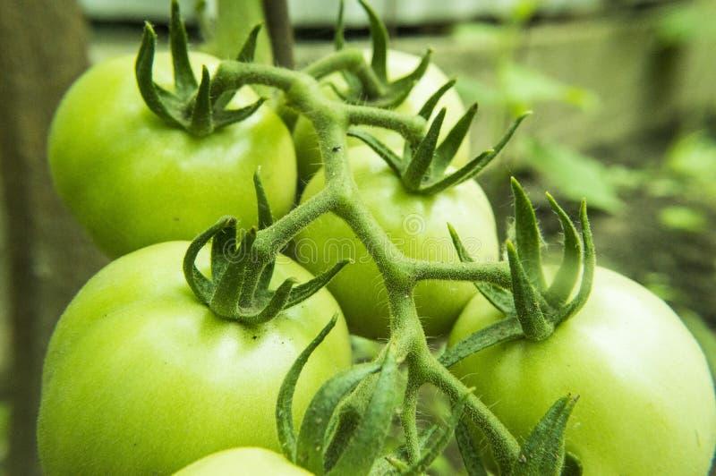 Close up de tomates verdes no jardim foto de stock