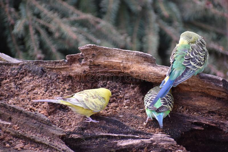 Close up de três budgies coloridos que sentam-se em um ramo de árvore em um parque em Kassel, Alemanha foto de stock royalty free