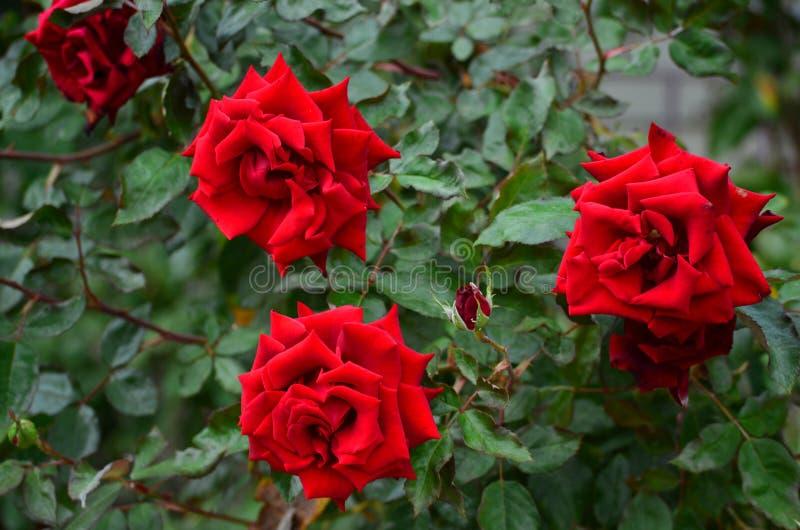 Close up de um arbusto cor-de-rosa grande com as flores vermelhas brilhantes entre as folhas verdes fotos de stock