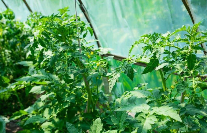 Close up de um arbusto do tomate que cresça em uma estufa A cor do tomate Como o tomate cresce no jardim, na exploração agrícola  imagens de stock