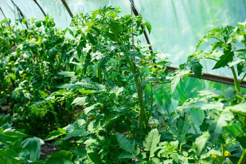 Close up de um arbusto do tomate que cresça em uma estufa A cor do tomate Como o tomate cresce no jardim, na exploração agrícola  fotos de stock