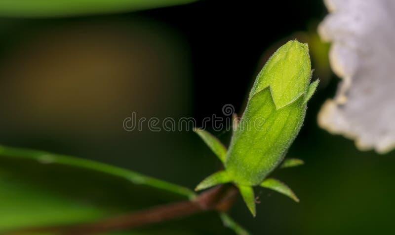 Close up de um botão unbloomed do estigma do hibiscus ou de flor do carpelo fotografia de stock