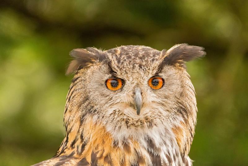 Close up de um bubão euro-asiático de Eagle-Owl Bubo foto de stock