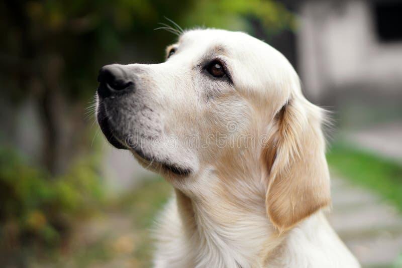 Close-up de um cão bonito do golden retriever que olha acima fotos de stock