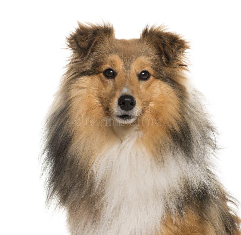 Close-up de um cão pastor de Shetland na frente de um fundo branco foto de stock