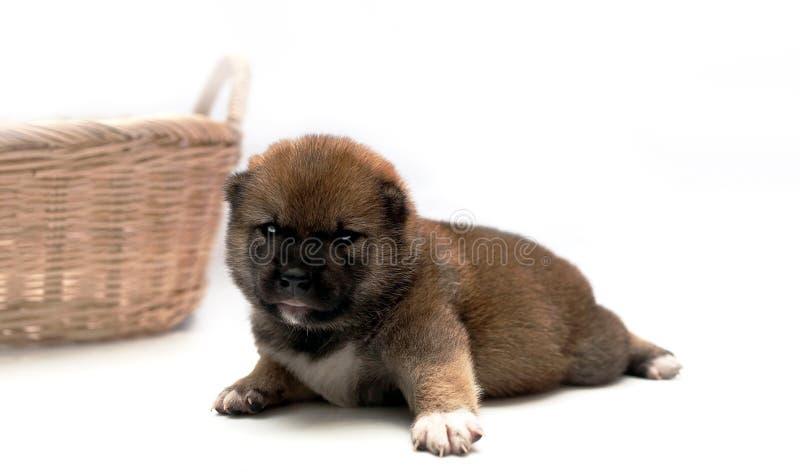 Close-up de um cachorrinho recém-nascido de Shiba Inu Cão de Shiba Inu do japonês Marrom bonito da cor do cachorrinho do inu do s imagens de stock royalty free