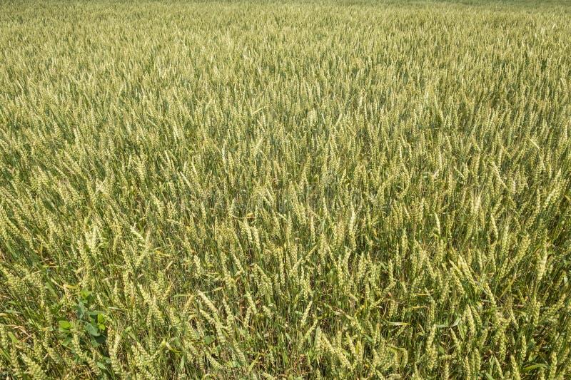 Close up de um campo de trigo imagens de stock