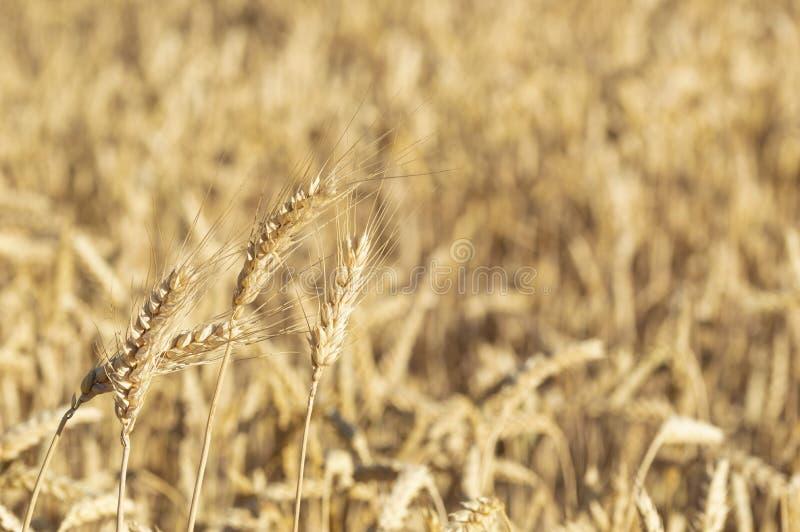Close-up de um campo e de Sunny Day dourados de trigo Fundo das orelhas de amadurecimento do campo de cereais fotos de stock royalty free