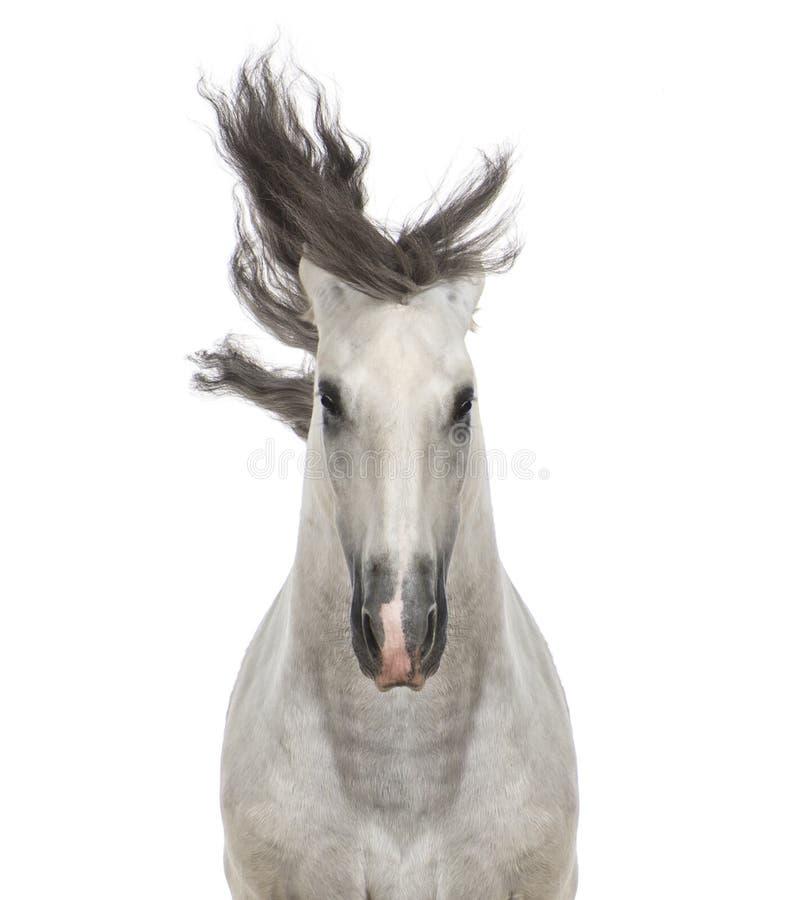 Close-up de um cavalo andaluz imagens de stock royalty free
