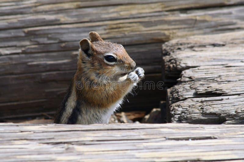 Close up de um Chipmunk foto de stock