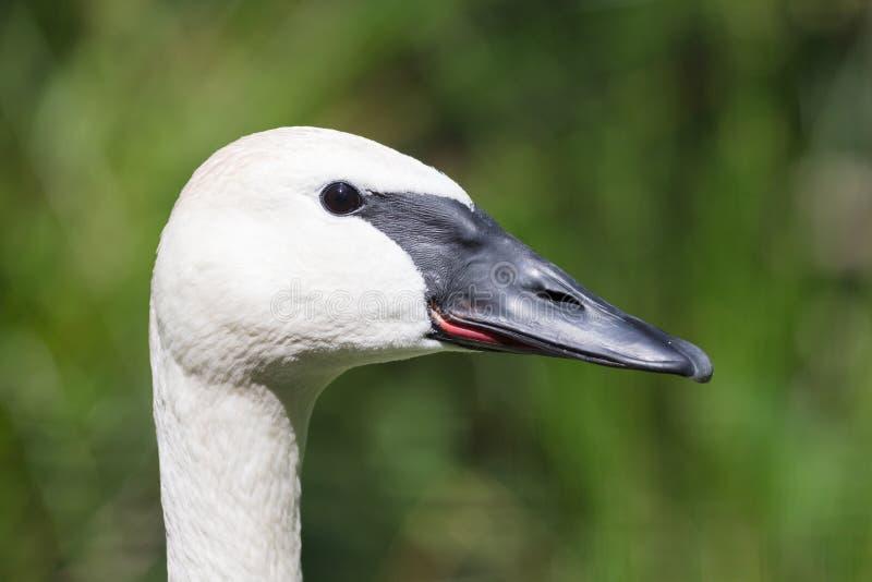 Close up de um cisne novo da cisne de trompetista foto de stock royalty free