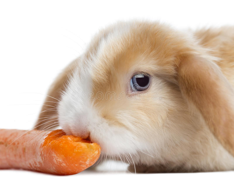 Close-up de um coelho de Mini Lop do cetim que come uma cenoura, isolado fotos de stock