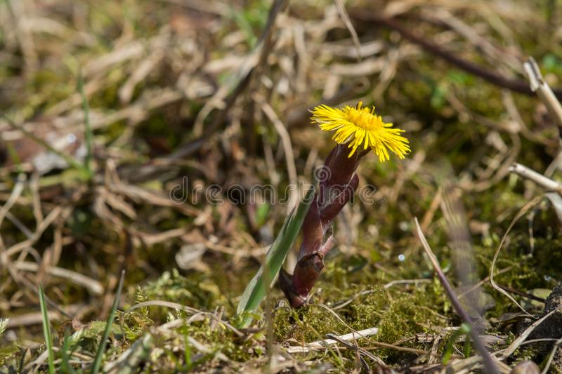 Close up de um coltsfoot de florescência foto de stock royalty free
