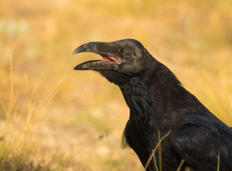 Close up de um corvo comum fotos de stock