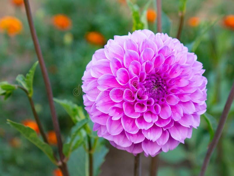 Close-up de um crescimento de flor cor-de-rosa bonito da dália no jardim imagens de stock royalty free