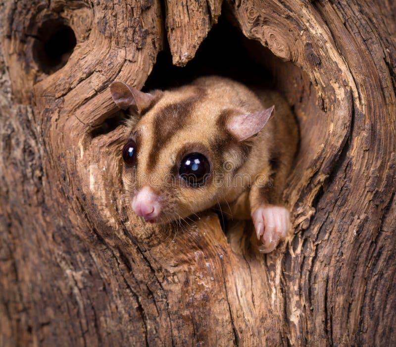 Close up de um esquilo de Sugar Glider imagem de stock royalty free
