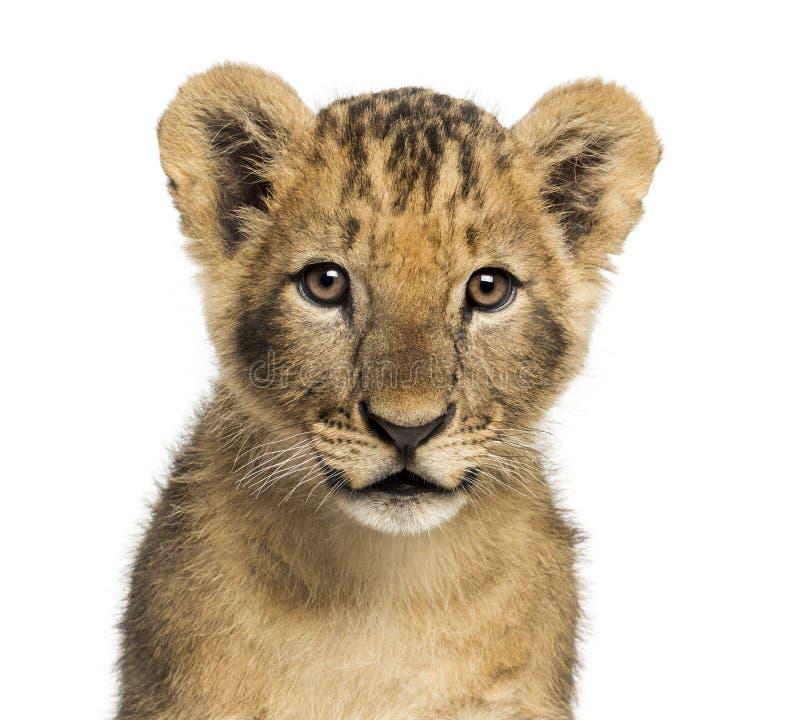 Close-up de um filhote de leão que olha a câmera, 10 semanas velha fotografia de stock