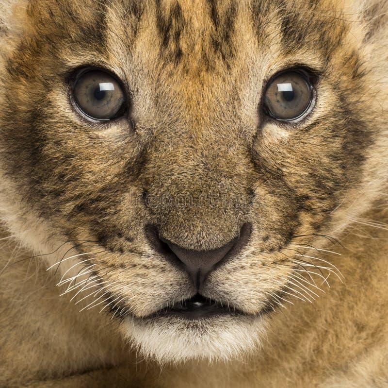 Close-up de um filhote de leão, 4 semanas velho fotos de stock