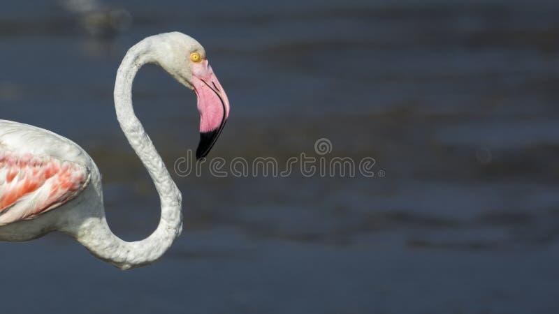 Close-up de um flamingo maior, destacando o pescoço delicado dos it's e a anatomia foto de stock