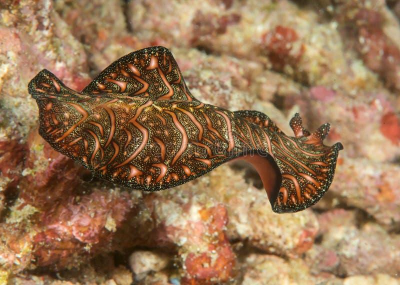 Close up de um flatworm do tapete persa que nada sobre o recife de corais de Bali fotografia de stock
