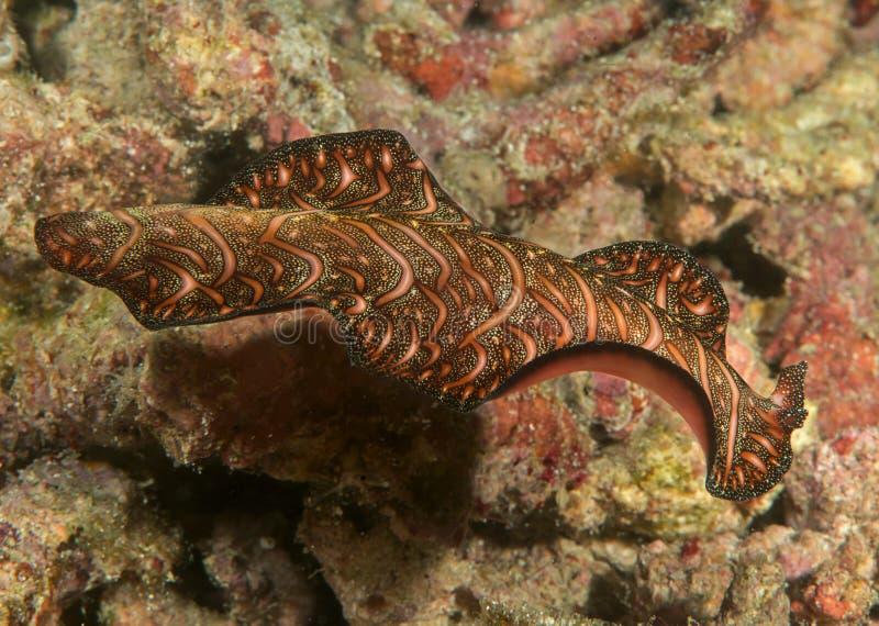 Close up de um flatworm do tapete persa que nada sobre o recife de corais de Bali foto de stock