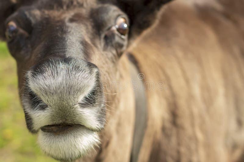 Close up de um focinho de um cervo Foco seletivo imagens de stock