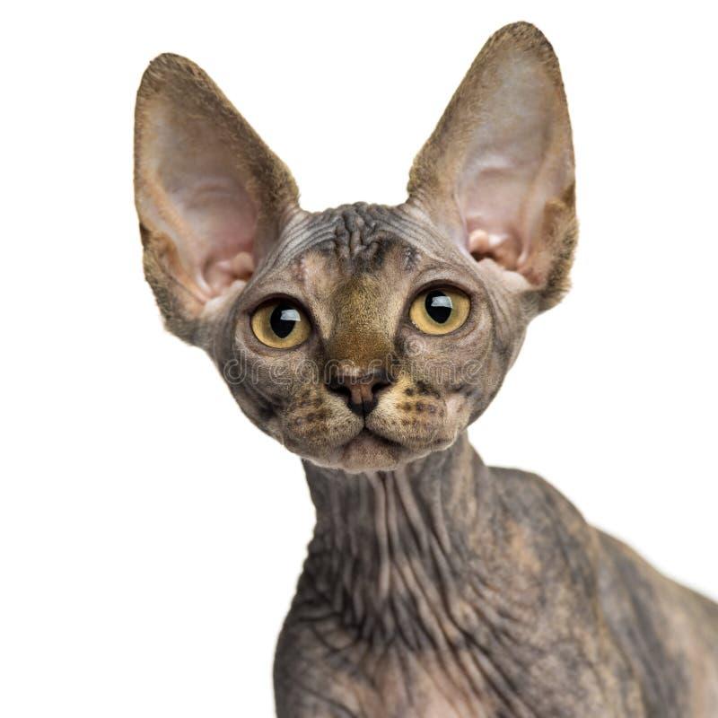 Close-up de um gatinho de Sphynx que olha acima fotos de stock royalty free