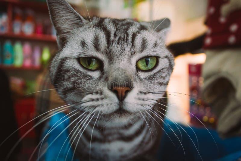Close-up de um gato preto e branco bonito e irritado das cores em uma loja de animais de estimação que olha a câmera fotos de stock royalty free