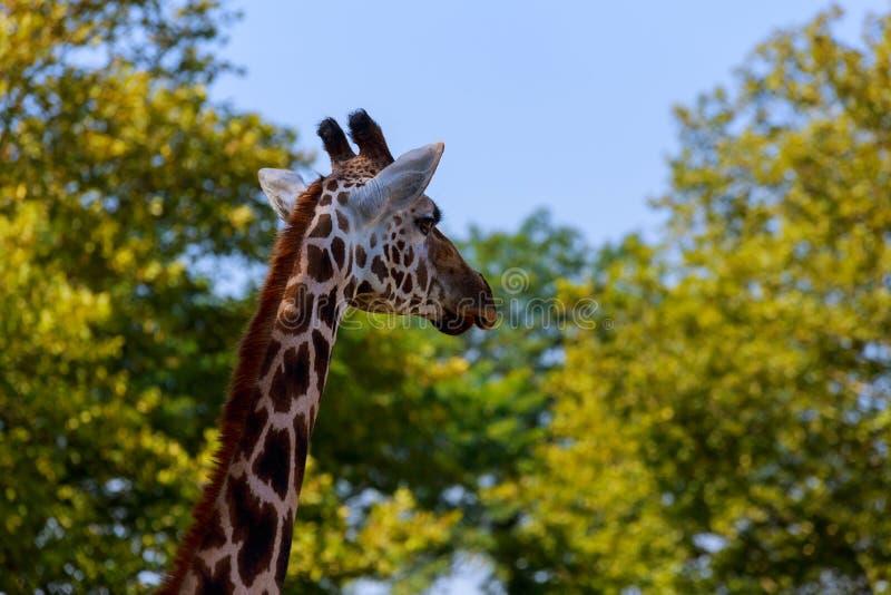 Close-up de um girafa na frente de algumas árvores verdes, como se para dizer fotografia de stock