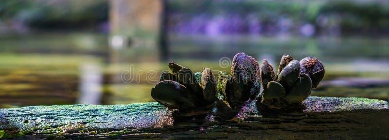 Close up de um grupo dos mexilhões comuns em um feixe de madeira, natureza no fundo do mar foto de stock