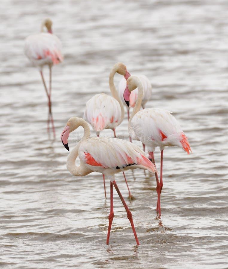 Close up de um grupo de flamingos imagens de stock royalty free