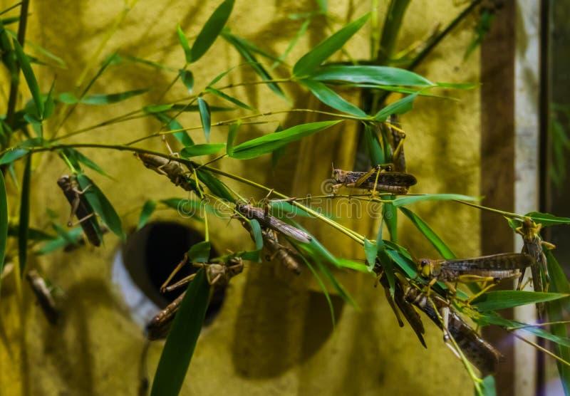 Close up de um grupo de locustídeo migratórios em um ramo, de insetos de África e de Ásia fotografia de stock