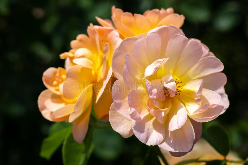 Close-up de um grupo de três pálidos - rosa e 'rosas de arbusto híbridas amarelas de Lark Ascending 'no jardim com as folhas verd fotografia de stock