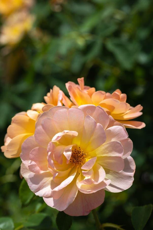 Close-up de um grupo de três pálidos - rosa e 'rosas de arbusto híbridas amarelas de Lark Ascending 'no jardim com as folhas verd foto de stock