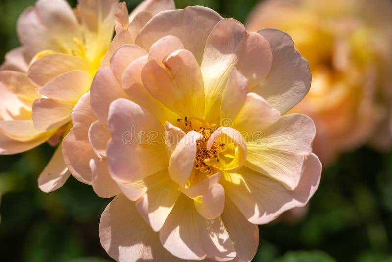 Close-up de um grupo de três pálidos - rosa e 'rosas de arbusto híbridas amarelas de Lark Ascending 'no jardim com as folhas verd imagens de stock