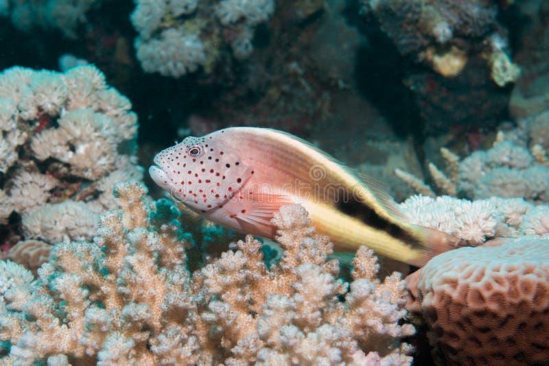Close-up de um hawkfish imagens de stock