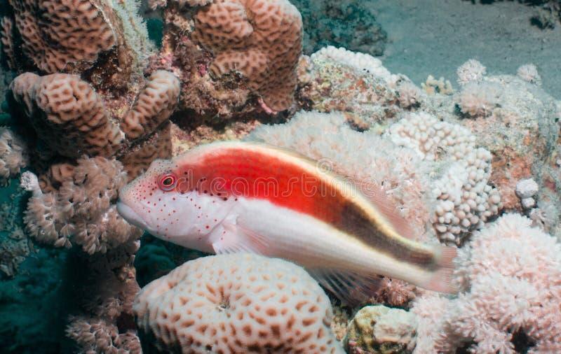 Close-up de um hawkfish fotografia de stock