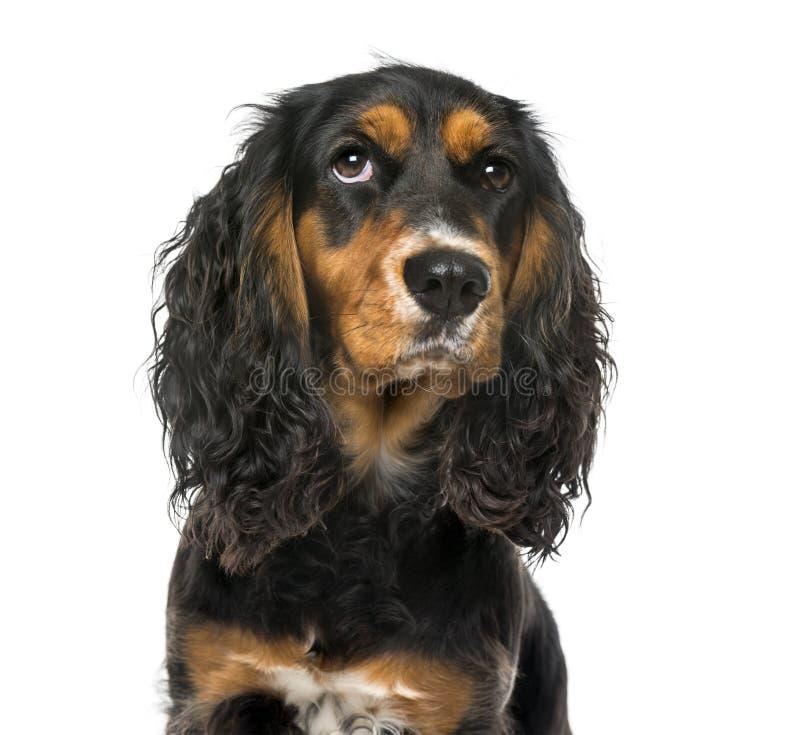 Close-up de um inglês pensativo cocker spaniel foto de stock