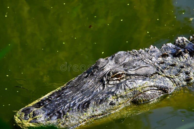 Close up de um jacaré americano fotografia de stock